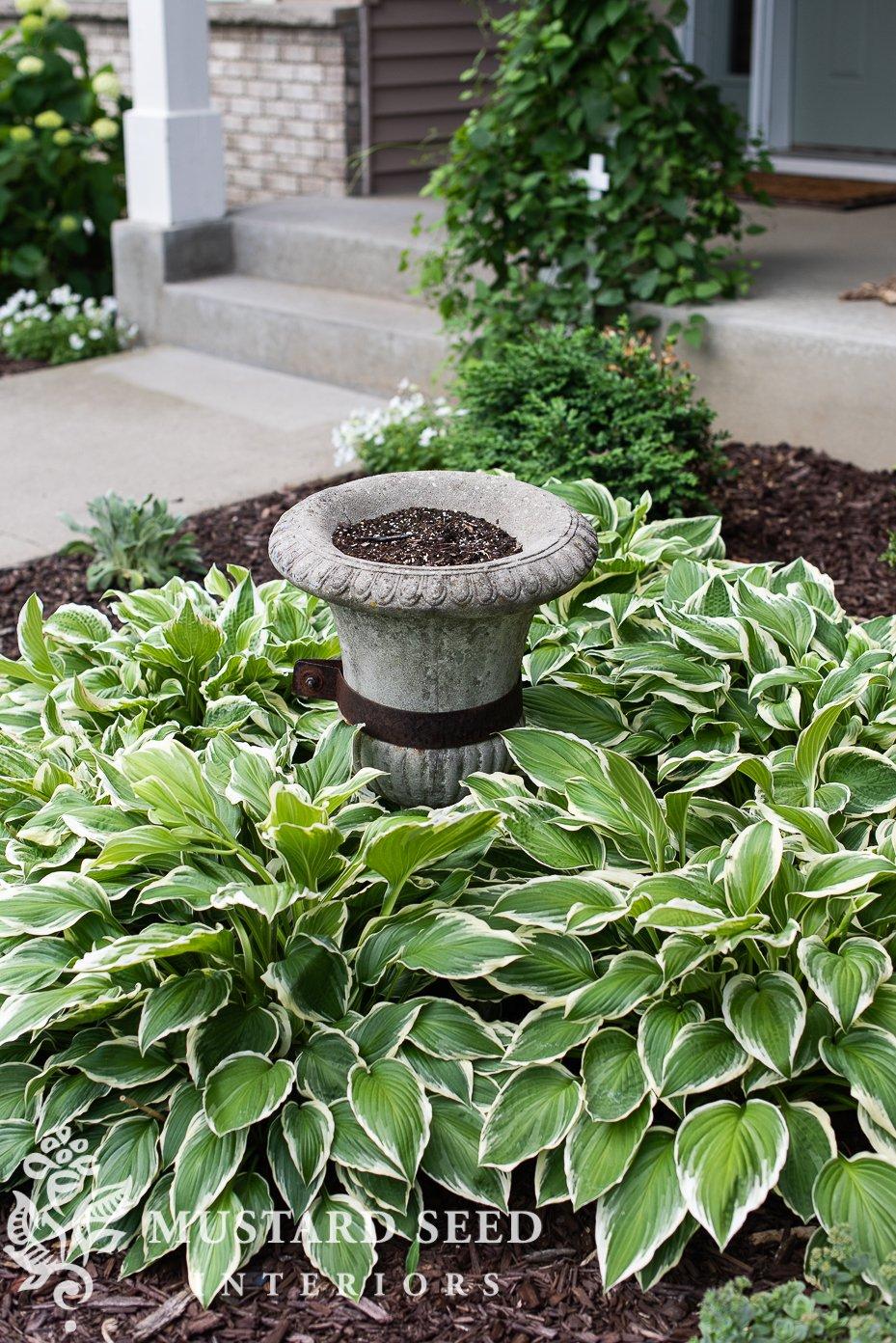 summer 2021 garden update | concrete urn | hostas | miss mustard seed