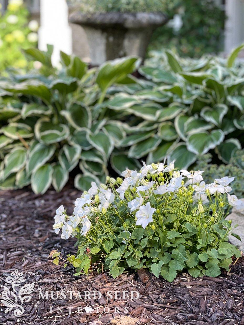 summer 2021 garden update | bellflower | miss mustard seed